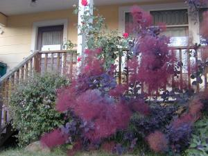 Purple Smoke Bush