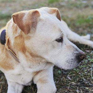 Buster, a yellow lab-bulldog mix