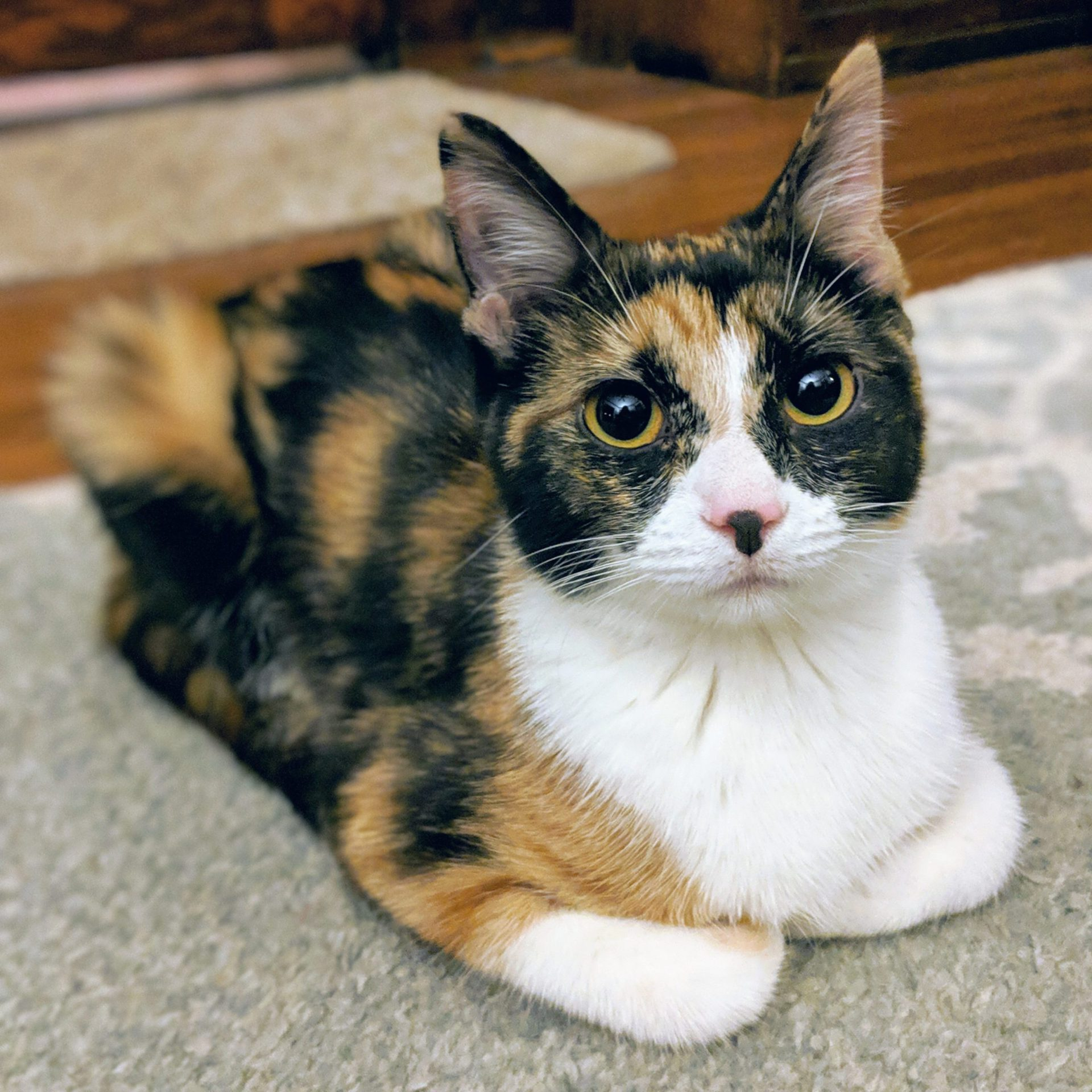 Calico kitten staring at the camera
